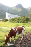 Kerk van Varlberg en koeien Royalty-vrije Stock Foto's