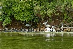 Kerkini lake birds life Stock Photos