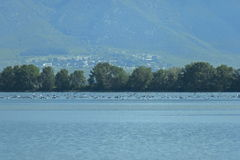 Kerkini lake birds life - pelican, heron, seagull, cormorant, duck Royalty Free Stock Photo