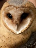 Kerkuil, Barn Owl, Tyto alba royalty free stock photography