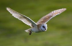 Kerkuil, hibou de grange, Tyto alba photo stock