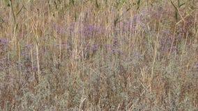 Kermek a foglia larga è genere di pianta bipartito plumbaginaceae della famiglia di Kermek stock footage