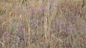 Kermek a foglia larga è genere di pianta bipartito plumbaginaceae della famiglia di Kermek archivi video