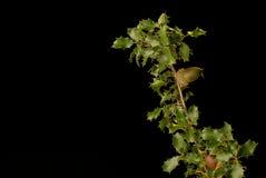 Kermes oak Stock Images
