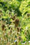 Kern der Schafgarbe (Achillea-collina) Stockbilder