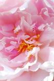 Kern einer rosafarbenen Pfingstrose Lizenzfreie Stockfotografie