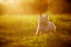 Kern-Terrierhundewelpen, die in den Park im Herbst laufen lizenzfreie stockfotos