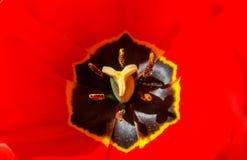 Kern van een rode tulp met stuifmeel, stamens en een stamperclose-up Royalty-vrije Stock Foto