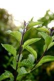 Kernachtige bladeren die in het zonlicht glinsteren Royalty-vrije Stock Fotografie
