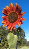 Kernachtige Rode Zonnebloem Royalty-vrije Stock Foto's