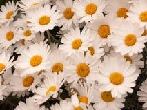 Kernachtige Witte en Oranje Daisy Flower Heads Bunched Together in Th Royalty-vrije Stock Foto
