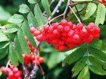 Kernfrüchte der Eberesche (Sorbus aucuparia) Lizenzfreie Stockfotos