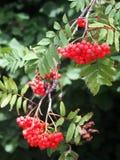 Kernfrüchte der Eberesche (Sorbus aucuparia) Lizenzfreie Stockbilder