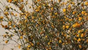 Kerria ιαπωνικά άνθισης φιλμ μικρού μήκους
