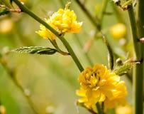 Kerria Japonica 美好的花黄色 春天开花黄色花 库存图片