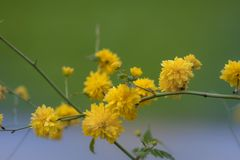Yellow flower on blurred background. Kerria japonica royalty free stock images