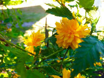 Kerria japonica. Blossoms very beautifully in the spring Royalty Free Stock Images