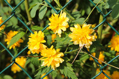 Kerria japonica Stock Photography