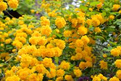 Kerria japonica flowers Royalty Free Stock Images