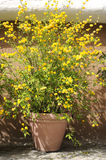 Kerria japonica Pleniflora. Flower pot with an ornamental shrub named Kerria japonica Pleniflora Stock Photos