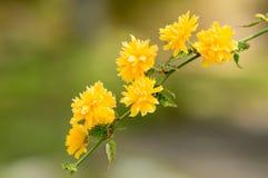 Kerria japonica pleniflora Stock Image