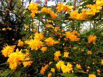 Kerria Japonica Royalty Free Stock Photography