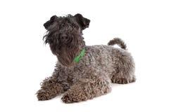 Kerry-Blau-Terrier stockbild