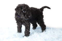 Kerry-Blau-Terrierwelpe stockbild
