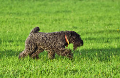 The Kerry Blue. Running playful Kerry Blue terrier Stock Images