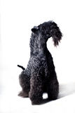 Kerry-blue. Terrier isolated on white background Stock Image