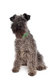 Kerry Blue Terrier Stock Images