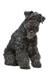 Kerry Blue Terrier Royalty Free Stock Photography