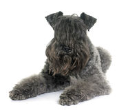 Kerry blue terrier Royalty Free Stock Images
