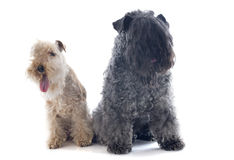 Kerry blue terrier and lakeland terrier Royalty Free Stock Images