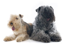 Kerry blue terrier and lakeland terrier Royalty Free Stock Photos