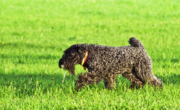 Kerry Blue terrier Stock Photos