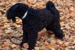 Kerry blue terrier is standing in the autumn foliage. Royalty Free Stock Photo
