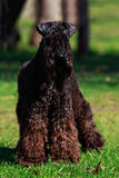 Kerry Blue Terrier Royalty Free Stock Image