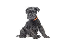Kerry Blue Terrier-Welpe Stockbilder