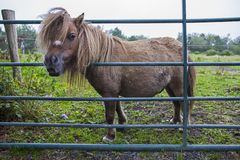 Kerry Bog Pony. A Kerry Bog Pony at the Kerry Bog Village Museum in County Kerry, Republic of Ireland. The Kerry Bog Pony is a mountain and moorland breed of royalty free stock images