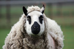 Kerry hill ewe Stock Photo