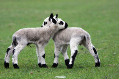 Kerry Hill lambs Royalty Free Stock Images