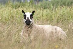 Kerry Hill sheep in a meadow Stock Images