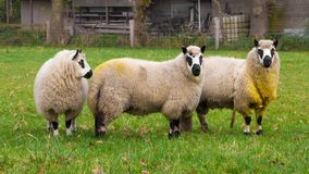 Kerry sheep. Three Kerry sheep form Wales England Royalty Free Stock Photography