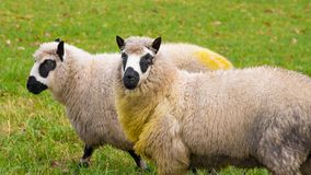 Kerry sheep Stock Photography