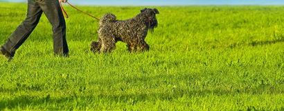 Kerry terrier. Owner with Kerry Blue terrier Stock Images