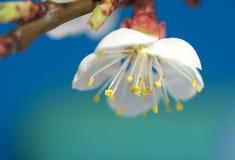 Kers-bloem Stock Foto's