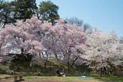 Kers-bloesem bomen in Tsuruga-kasteelpark royalty-vrije stock foto's