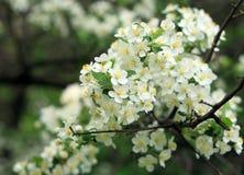 Kers-boom bloem royalty-vrije stock afbeeldingen