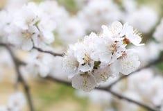 Kers-boom in de lente Royalty-vrije Stock Afbeelding